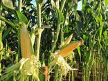 Купівля зернових та олійних культур - фото 1