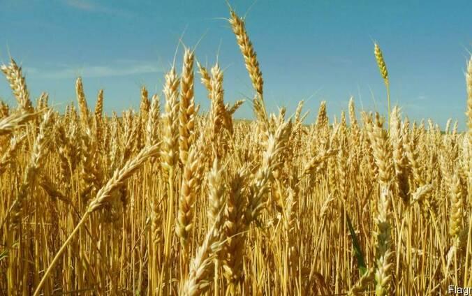 Куплю дорого на постоянной основе пшеницу 2-3 класс.