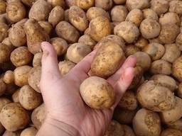 Куплю картофель оптом обьёмами, Беллароза и тд. - фото 2