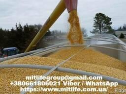 Куплю Кукурузу фуражную и продовольственую