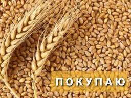 Куплю кукурузу , пшеницу , горох , ячмень.