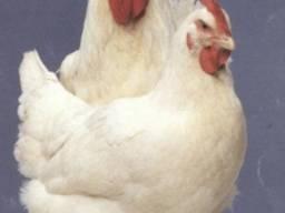 Куплю кур на забой: несушку, маточного бройлера живым весом