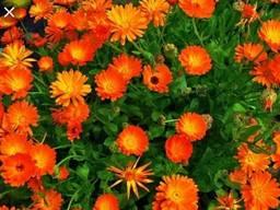 Куплю квіти нагідків (календула), траву меліси (мелисса)