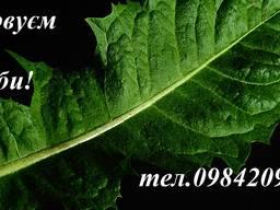 Куплю лист кульбаби (сухий) .