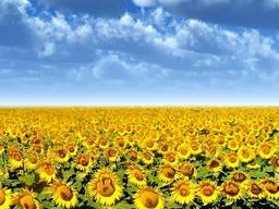 Куплю насіння соняшника у виробників. Будь-який об'єм