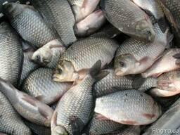 Куплю без посредников речную рыбу свежую, охлажденную. Опт.