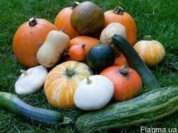 Куплю оптом сортовые семена кабачков и тыквы