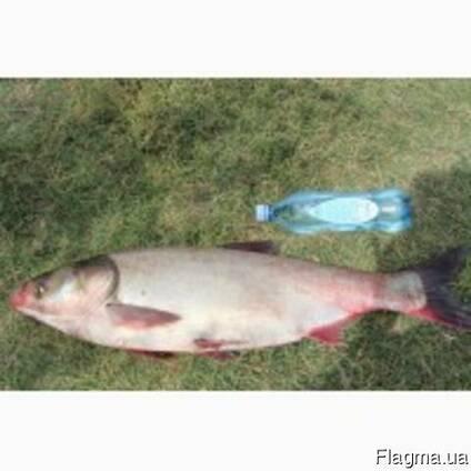 Куплю оптом живую и свежую рыбу карп, Тослобик