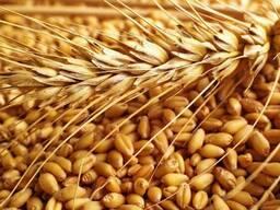 Куплю отходы кукурузы (дробленную, некондицию)