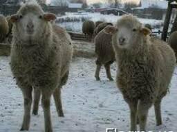 Куплю овец породы Меринос