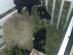 Куплю овец Романовской породы на постоянной основе.Дорого!