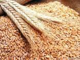 Куплю Пшеницу Чернигов Украина - фото 1