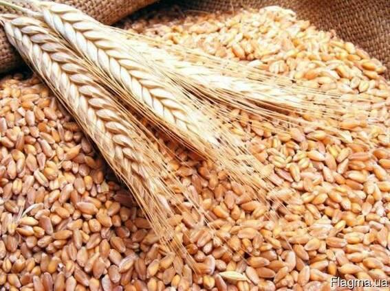Куплю Пшеницу Чернигов Украина