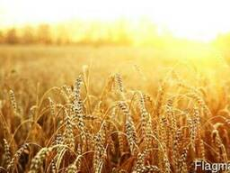 Пшениця 2-го та 3-го класу