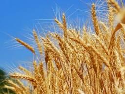 Куплю пшеницу, ячмень, кукурузу, семечку, рожь, зерно.