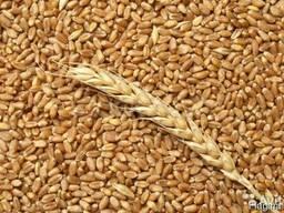 Куплю Пшеницу Житомир Украина