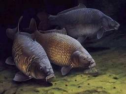 Куплю речную рыбу в обширном ассортименте