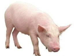 Куплю шкуру свинну