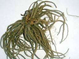 Куплю валериана корень мелким оптом