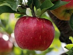 Куплю яблока оптом