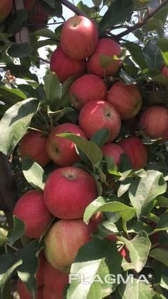 Куплю свежие груши и яблоки на экспорт