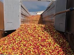 Куплю яблоки на переработку. Все подряд в мешках.