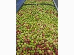 Куплю яблоки в больших объемах