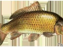Куплю живую рыбу (Карп, щука, сазан, судак)