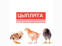 Курчата/ Цыплята суточні та підрощені Іспанка, Гріз Бар, Бройлер та ін