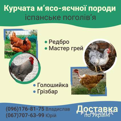 Курчата Мясо-яичка