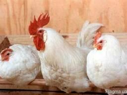 Кури-несушки