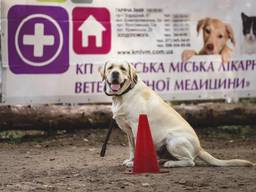 Лабрадор ретривер ищет девочку для вязки / лабрадор для вязки Киев
