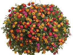 Лантана - разные расцветки.