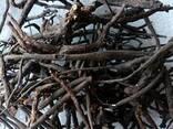Лапчатка белая(пятепал корень) - фото 2