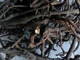 Лапчатка белая(пятепал корень) - фото 3