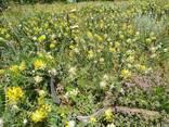 Лекарственные травы астрагал - фото 1