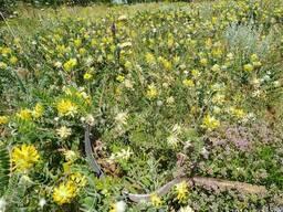 Лекарственные травы астрагал