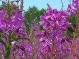 Лекарственные травы оптом - фото 1