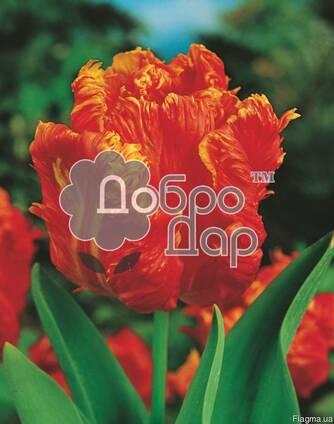 Луковицы тюльпанов, нарцысов, лилий на выгонку, оптом