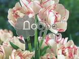 Луковицы тюльпанов, нарцысов, лилий на выгонку, оптом - фото 5