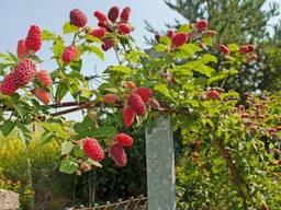 Малиновый сад, Киевская область, 9.2 га