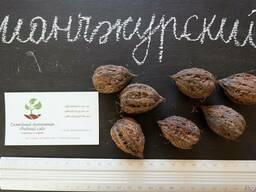 Манчжурский орех семена (10 шт) для выращивания саженцев