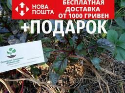 Мангольд семена 50шт (листовая свекла, римская капуста. ..