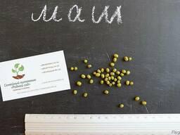 Маш семена (бобы мунг дал, золотистая фасоль)насіння (10 шт)