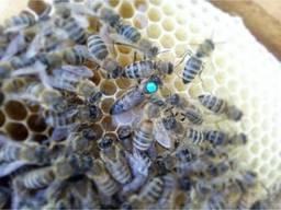 Матки бджоломатки карніка пешец, пернер, Українська степова.