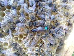 Матки бджоломатки карніка пешец Українська степова. Не плідн