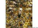 Матки карпатских пчел - фото 1