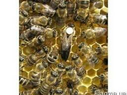 Матки карпатских пчел