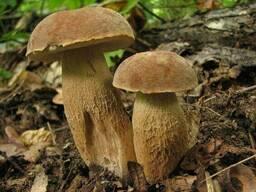 Мицелий Белого гриба сетчатого, 100г.