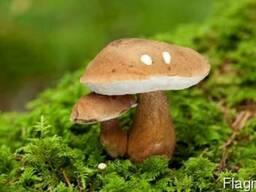 Мицелий белых грибов для посева на участках с гарантией